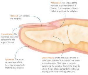 Nail anatomy 2