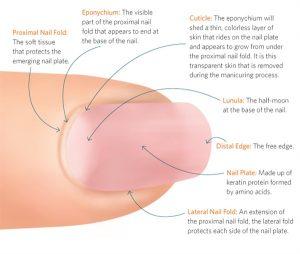 Nail anatomy 1